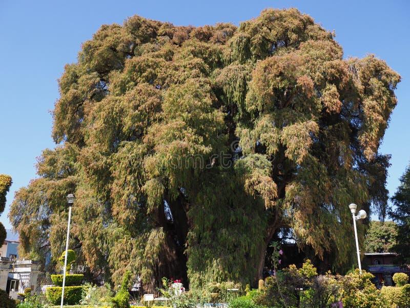 Árbol de ciprés de Montezuma de la ciudad de Santa Maria del Tule con el tronco más valiente del mundo en México foto de archivo libre de regalías