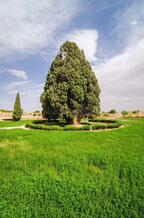 Árbol de ciprés de Zoroatrian de Abarkuh, Irán imagen de archivo libre de regalías