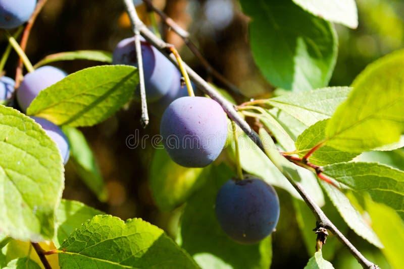 Árbol de ciruelo con los pequeños ciruelos azules imágenes de archivo libres de regalías
