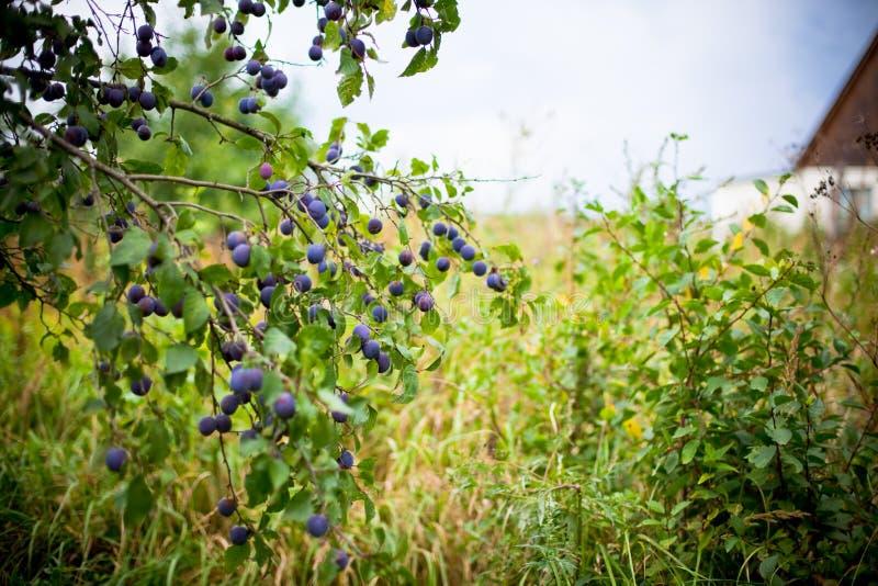 Árbol de ciruelo en jardín overgrown foto de archivo