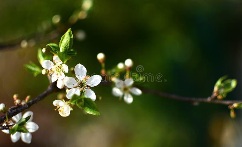 Árbol de ciruelo salvaje en la plena floración fotos de archivo libres de regalías