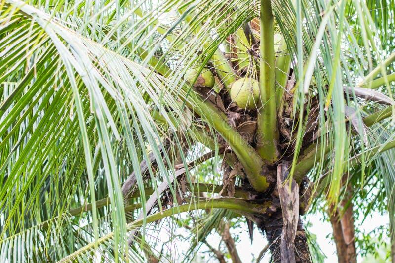 Árbol de coco en granja fotos de archivo