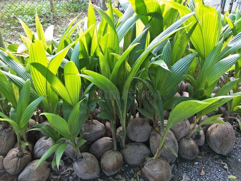 Árbol de coco en Tailandia foto de archivo