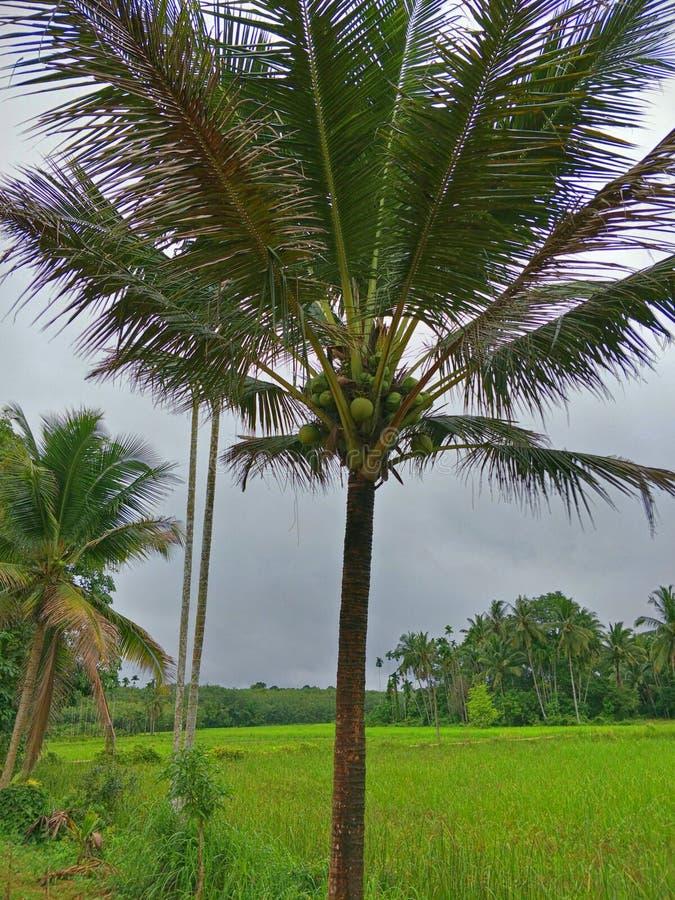 Árbol de coco en Tailandia imágenes de archivo libres de regalías