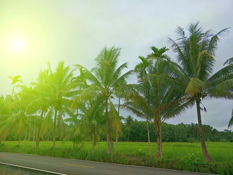Árbol de coco en Tailandia fotos de archivo