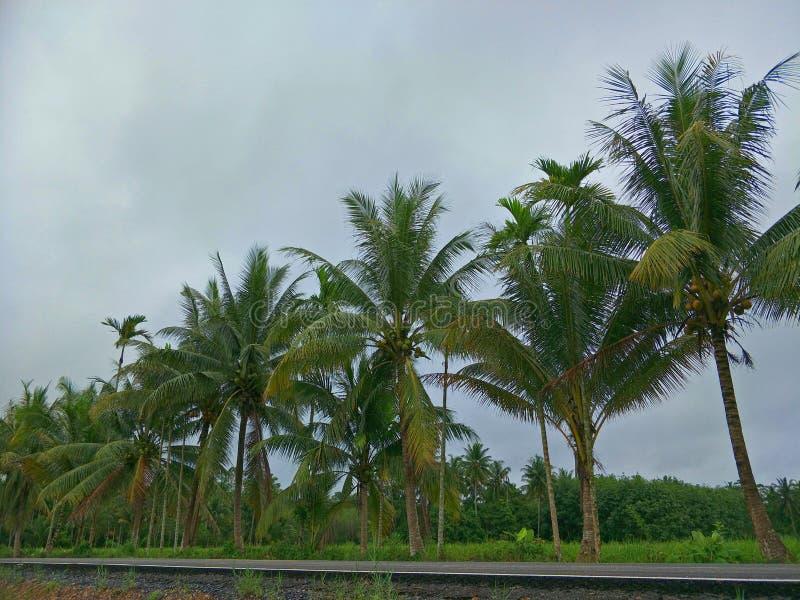 Árbol de coco en Tailandia fotografía de archivo libre de regalías