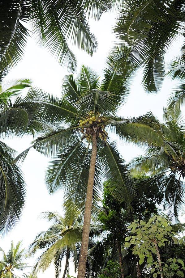 Árbol de coco grande fotos de archivo libres de regalías