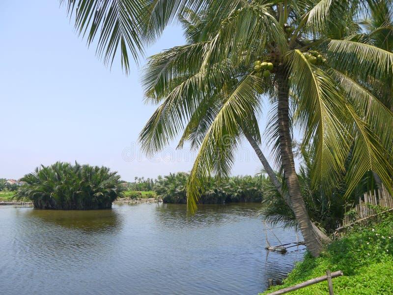Árbol de coco hermoso por el río en Hoi An Vietnam fotografía de archivo