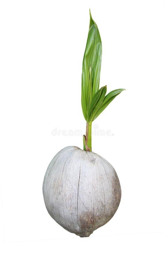 Árbol de coco joven fotos de archivo