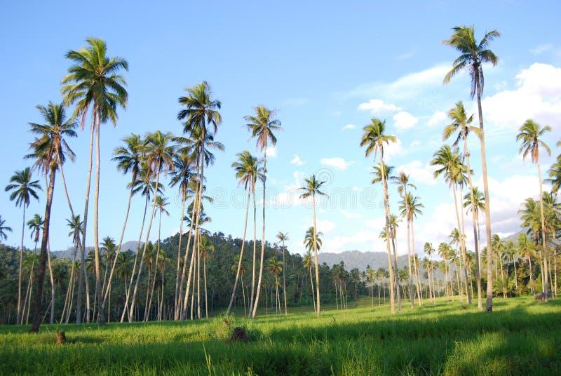 Árbol de coco Kotamobagu imagenes de archivo