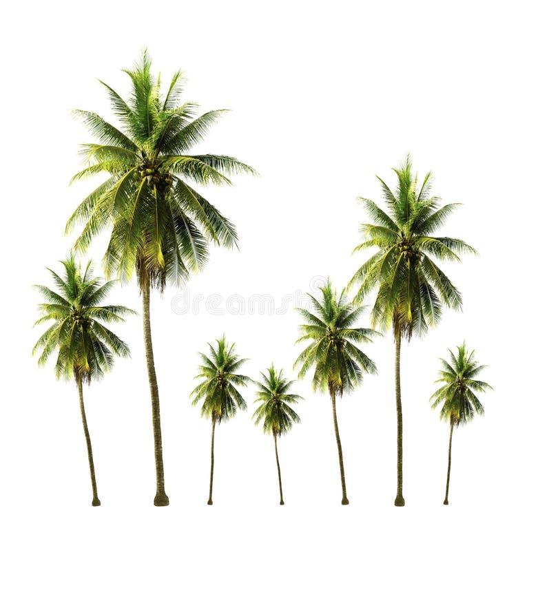 Árbol de coco que crece en el jardín aislado en el fondo blanco imágenes de archivo libres de regalías
