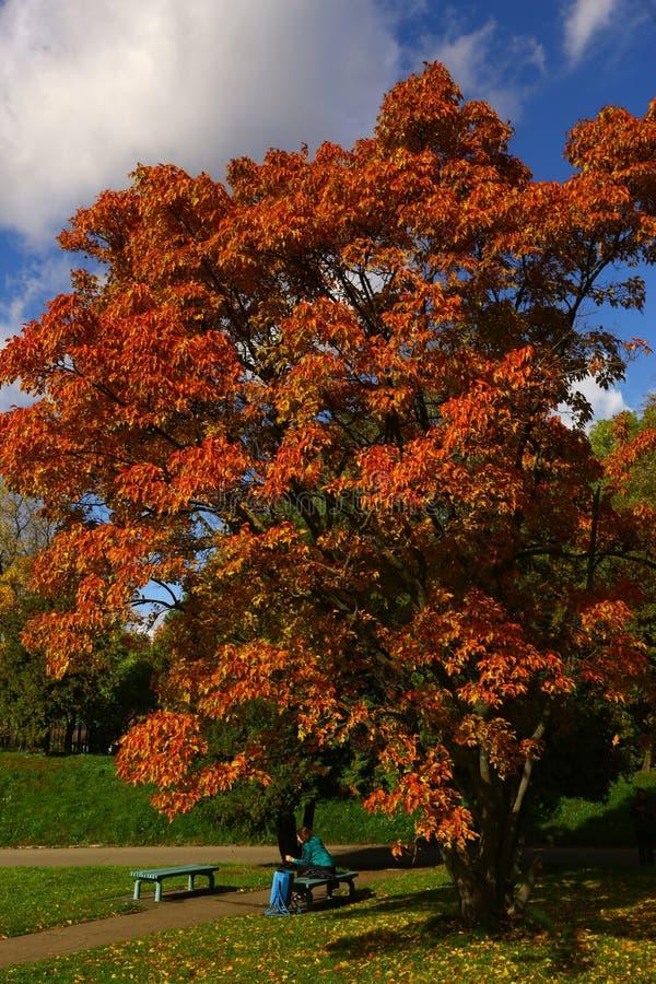 Árbol de color naranja rojo del otoño en el parque con la muchacha en el banco foto de archivo libre de regalías