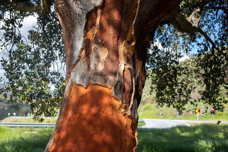 Árbol de corcho en día de verano foto de archivo libre de regalías