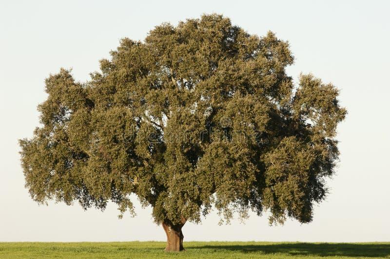 Árbol de corcho foto de archivo libre de regalías