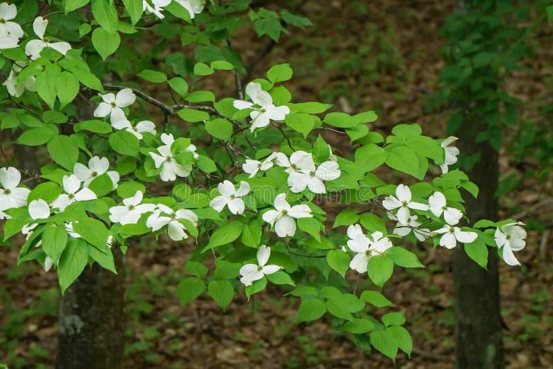 Árbol de cornejo de florecimiento en bosque imagen de archivo