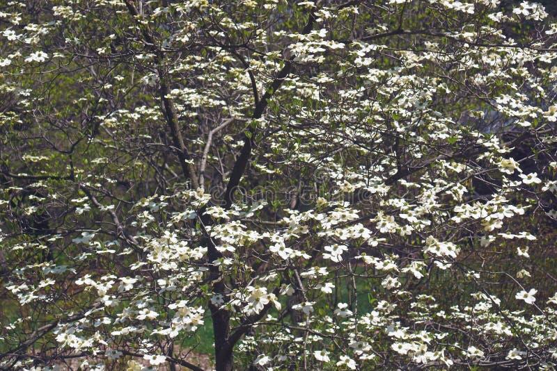 Árbol de cornejo de florecimiento de Ozark Spring en flor foto de archivo