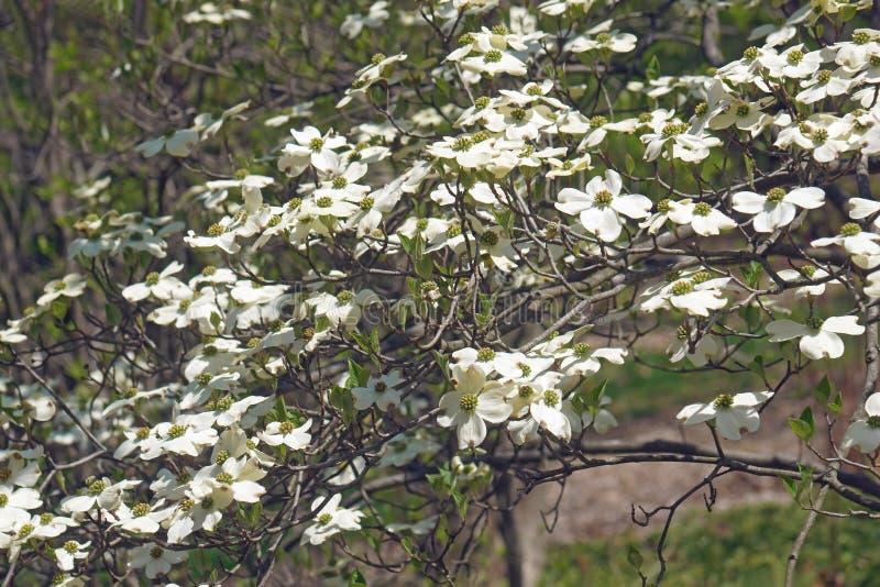 Árbol de cornejo de florecimiento de Ozark Spring en flor fotografía de archivo libre de regalías