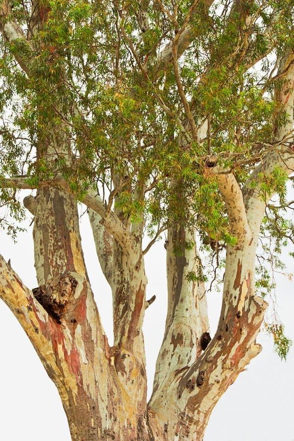 Árbol de corteza de papel imagen de archivo libre de regalías