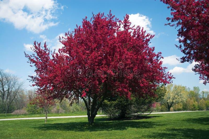 Árbol de Crabapple en la floración fotos de archivo