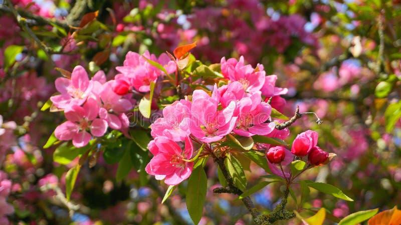 Árbol de Crabapple de los derechos del Malus con las flores en el cierre del sol de la mañana para arriba Flor de Apple imagen de archivo