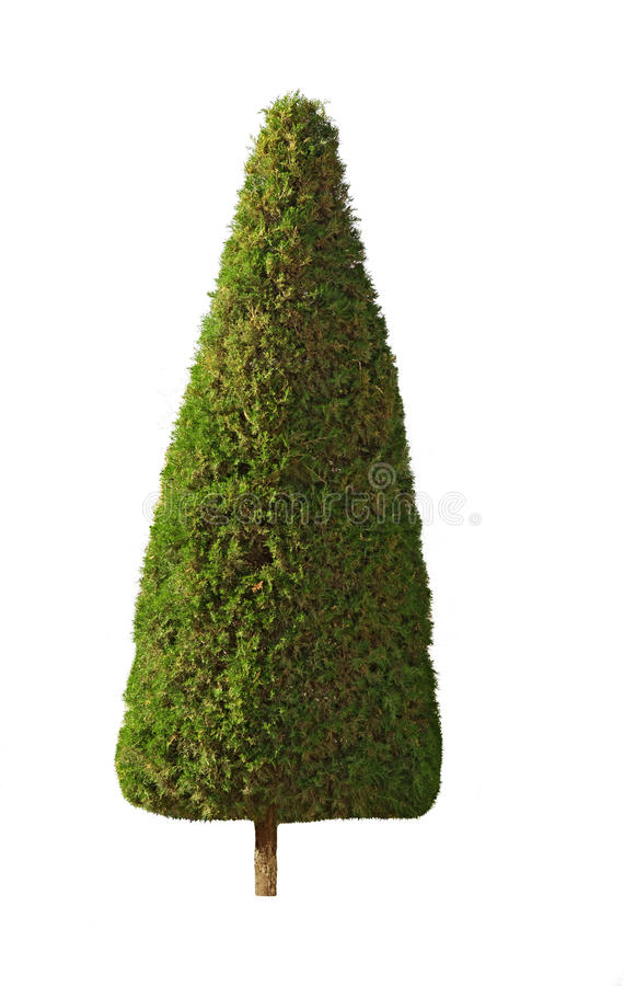 Árbol de Cypress, aislado imagenes de archivo