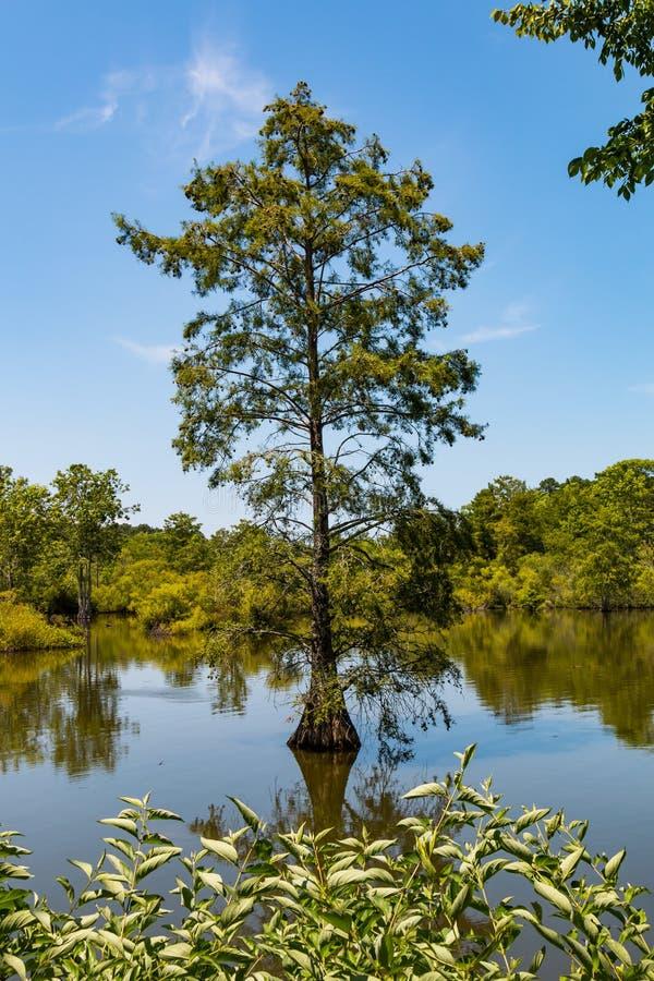 Árbol de Cypress calvo que crece en humedales en el lago achaparrado fotografía de archivo