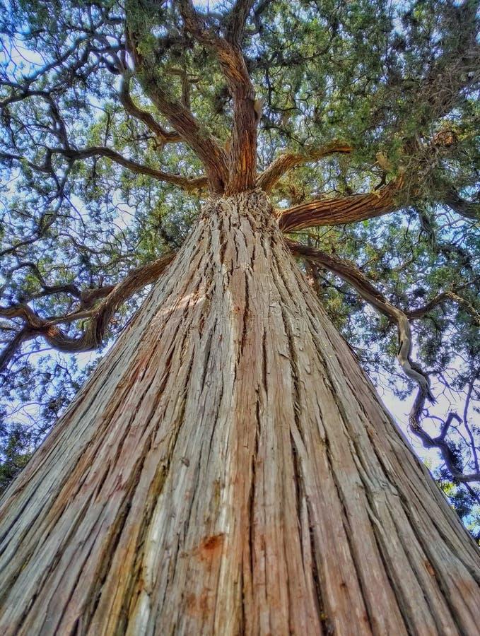 Árbol de Cypress que sorprende 2 imagen de archivo libre de regalías