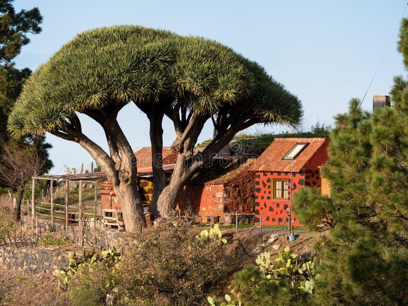 Árbol de dragón con la casa roja en el La Palma foto de archivo libre de regalías