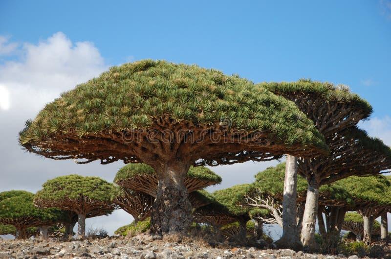 Árbol de dragón en Socotra imagen de archivo