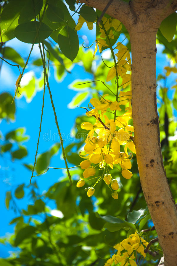 Árbol de ducha de oro de la fístula de la casia fotos de archivo