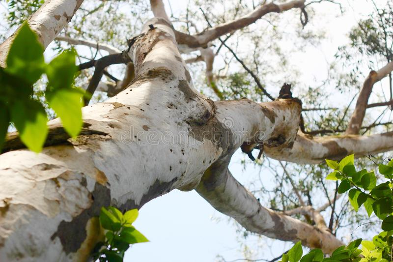 Árbol de eucalipto fotografía de archivo libre de regalías