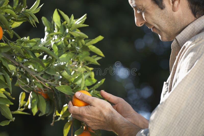 Árbol de Examining Oranges On del granjero en granja foto de archivo