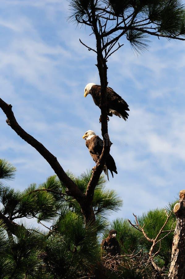 Árbol de familia del águila calva foto de archivo