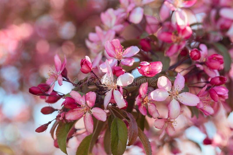 Árbol de florecimiento de Crabapple imagenes de archivo