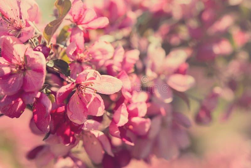Árbol de florecimiento de Crabapple fotografía de archivo libre de regalías