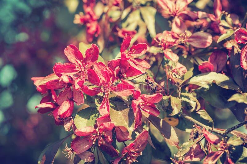 Árbol de florecimiento de Crabapple imagen de archivo