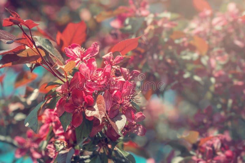 Árbol de florecimiento de Crabapple imágenes de archivo libres de regalías