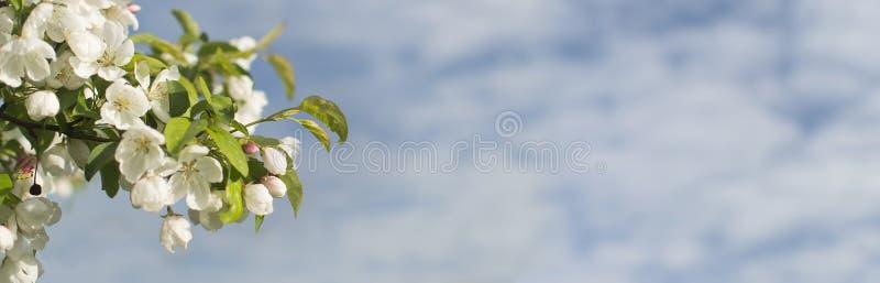 ?rbol de florecimiento del crabapple contra el cielo azul imágenes de archivo libres de regalías