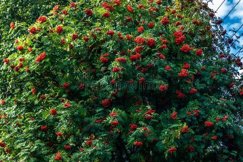 Árbol de flores con grandes racimos rojos fotografía de archivo libre de regalías