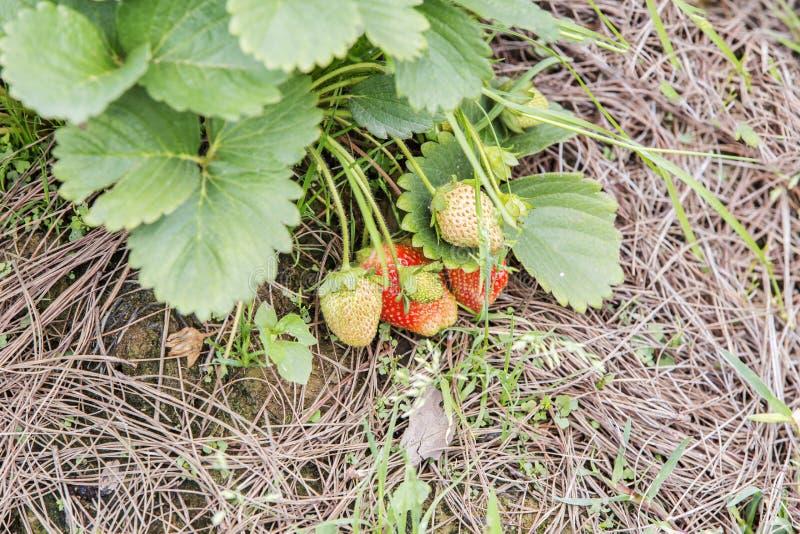 Árbol de fresa imagenes de archivo