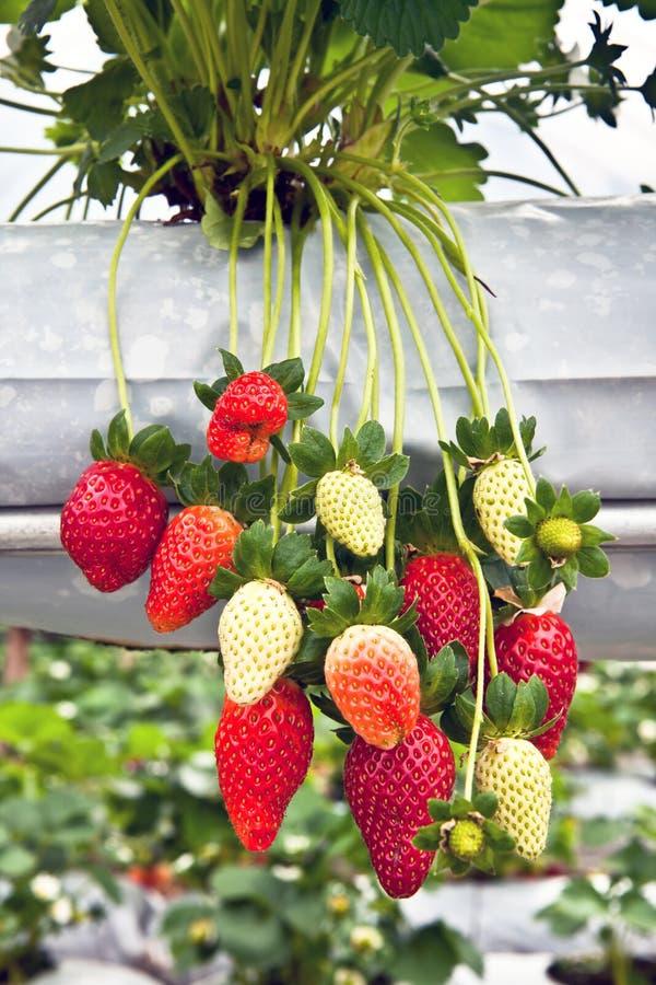 Árbol de fresa en el jardín imagen de archivo libre de regalías