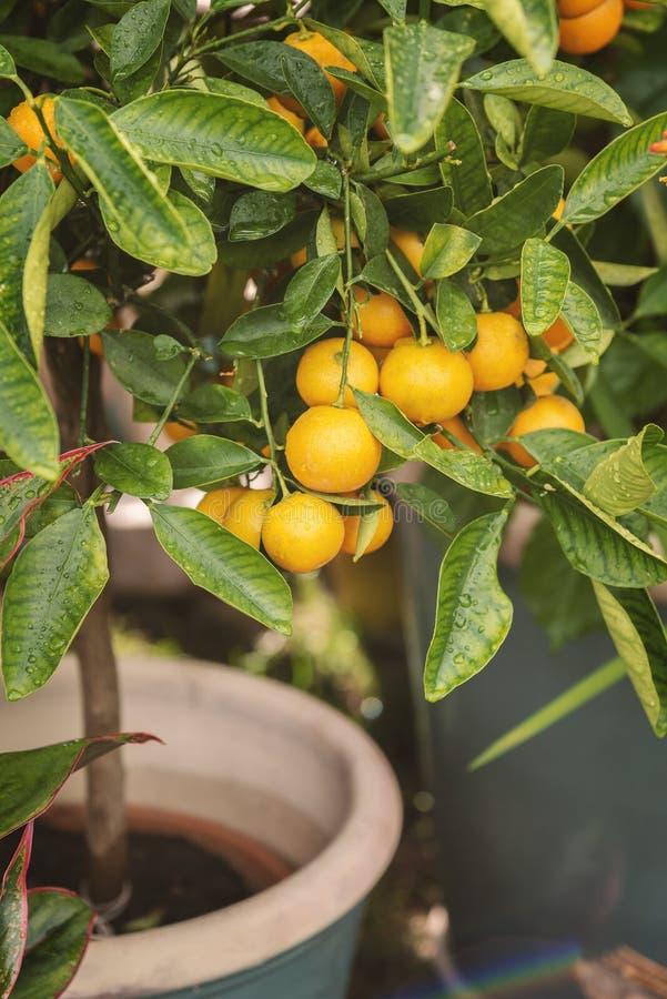 Árbol de fruta cítrica miniatura imagen de archivo