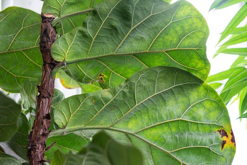Árbol de goma del moraceae del lyrata de los ficus con la hoja grande de África tropical foto de archivo