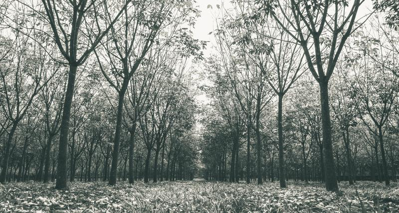 Árbol de goma en el blanco de goma de Forest Background Wide View Black fotografía de archivo