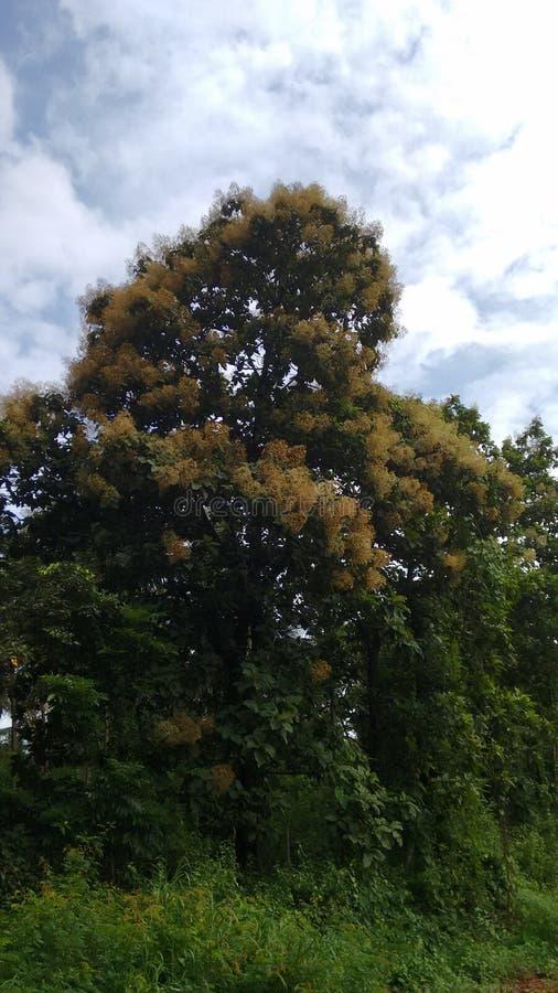 Árbol de goma floreciente fotografía de archivo libre de regalías