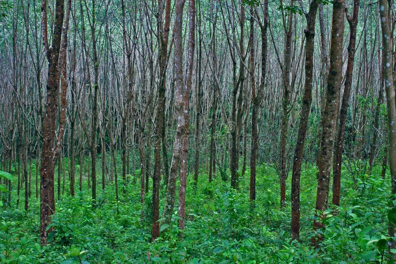 Árbol de goma Forest Tropical Green Trunks Background fotografía de archivo