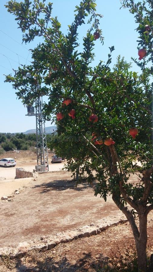 Árbol de granada foto de archivo