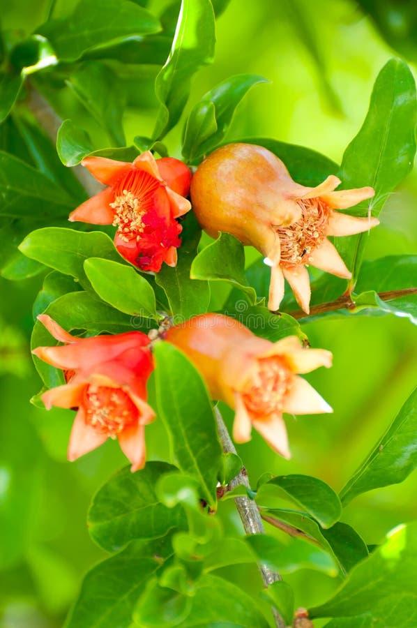 Árbol de granada floreciente foto de archivo