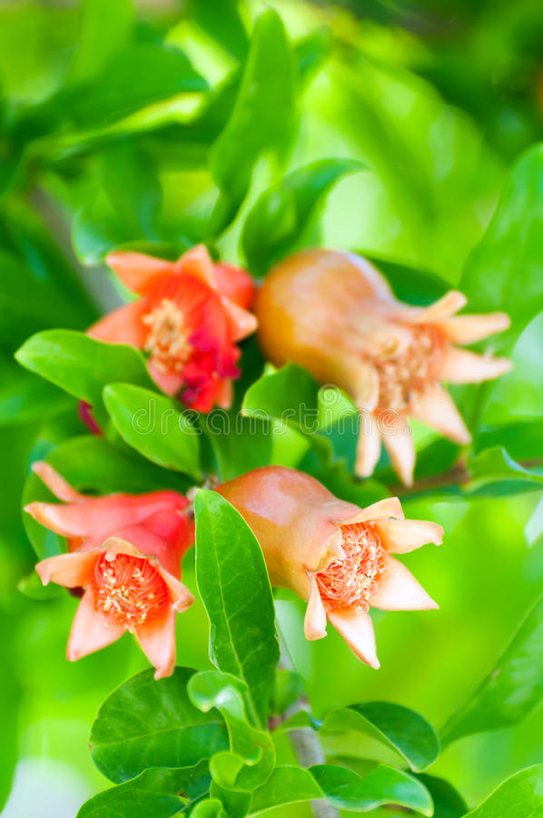 Árbol de granada floreciente imagenes de archivo