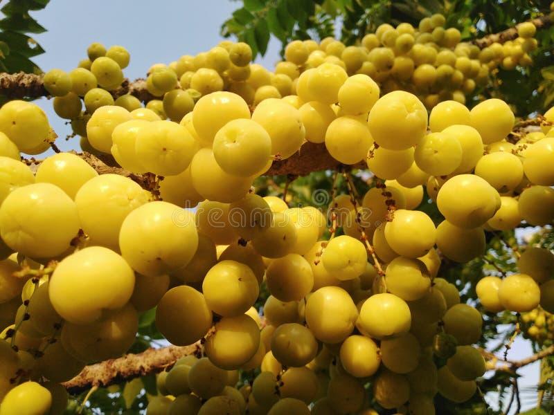 Árbol de grosella espinosa amarillo imagen de archivo libre de regalías